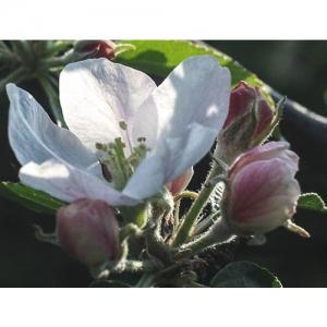 Apfelbüte