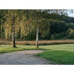 Zwei Birken