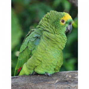 Papagei Blaustirnamazone