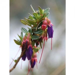 Blume (Peru)