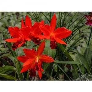 Orchideen - Cattleya