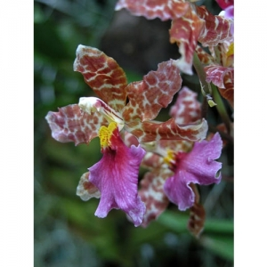 Orchideen - Odontoglossum bictoniense x Od. Marg. Holm - 1509