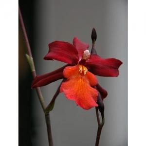 Orchideen - Odontoglossum Stefan Isler