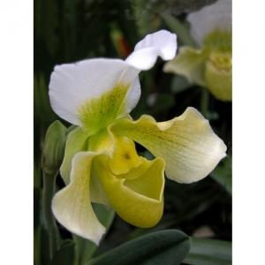 Orchideen - Paphiopedilum