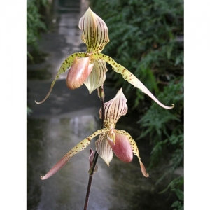 Orchideen - Paphiopedilum rothschildianum x esqu..