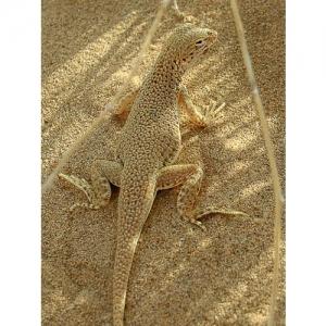 Leguan, Mojave Wüste