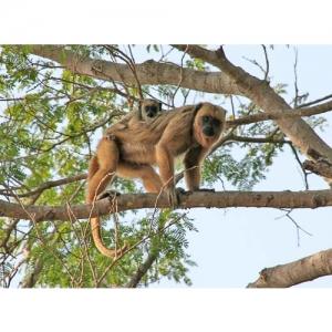 Affenmutter und Junges