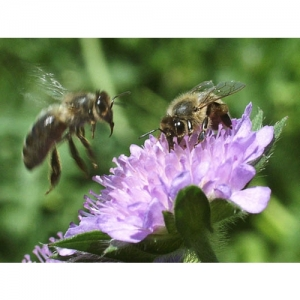 Biene auf Skabiosa