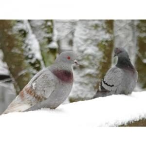 Zwei Tauben