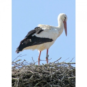 Kartause Ittingen - Storch