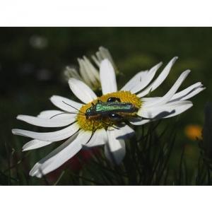 Käfer auf Kamille