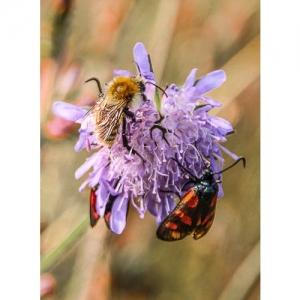 Insekten an Skabiosa