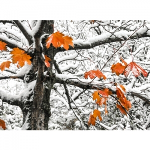 Ahorn im Schnee