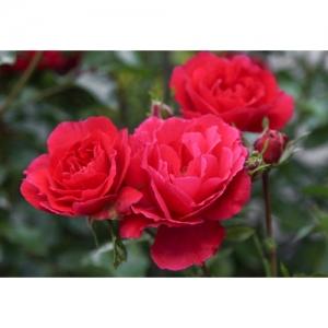 Rose - Heidefeuer / Bo
