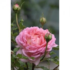David Austin / engl. Rose