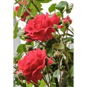 Rose -Sympathie /Kl