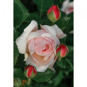 English Garden / engl. Rose