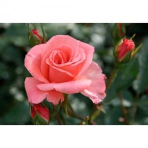 Rose -Kalinka / Fl