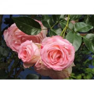 Strauchrose (lachsrosa)