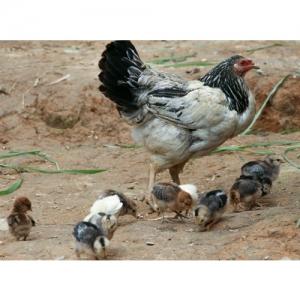Huhn mit Kücken - 2091