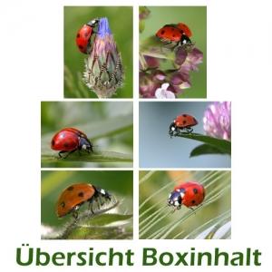Sechser-Box: Marienkäfer