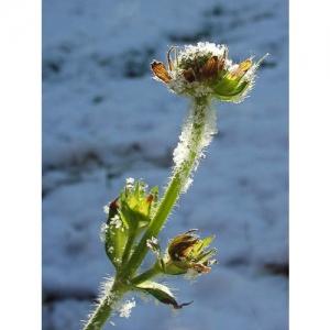 Skabiosa im Schnee