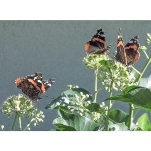Admiral - Schmetterlinge