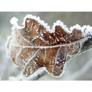 Eichenblatt im Schnee
