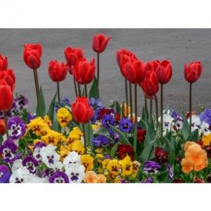 Tulpen und Stiefmütterchen
