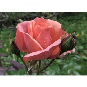 Rose - Abrikola
