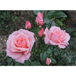 Rose - Queen  Elisabeth