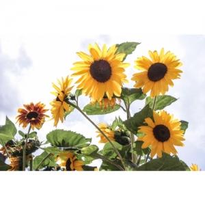 L 2223 Sonnenblumen 60x40
