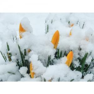 Frühlingserwachen mit Krokussen