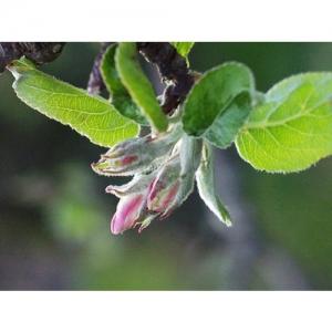 Apfelblütentrieb