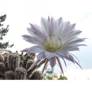 Kaktus: Königin der Nacht
