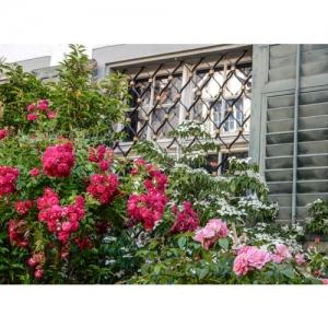 Rosen vor Fenster