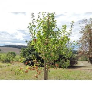 Landschaft mit Apfelbaum