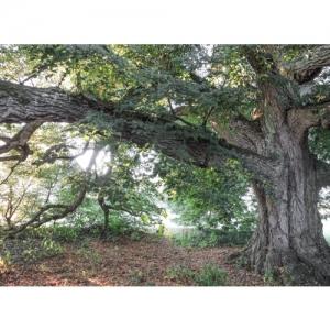 Linde (400 Jahre alt)