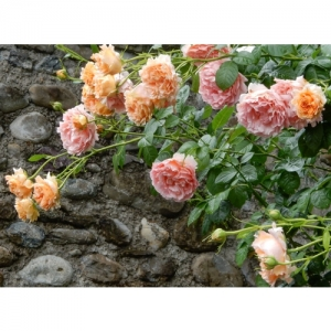 Rose - Polka / Kl