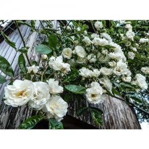 Rose Boule de neige / Str.