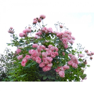 Rosenbäumchen Raubrittter