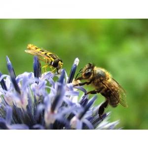 Biene und Schwebefliege