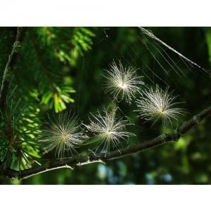 Flugsamen im Nadelbaum