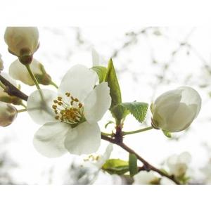 Pfläumchenblüte