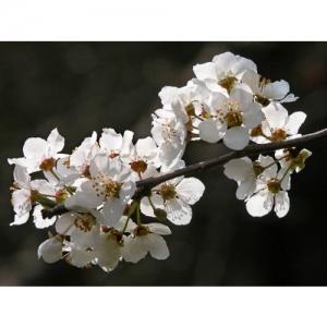 Pfläumchen-Blütenzweig