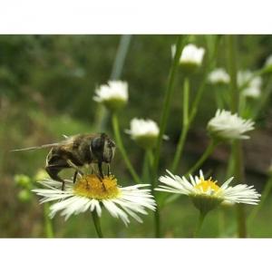 Wildbiene auf Feinstrahl