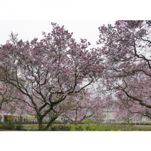 Magnolienbäume