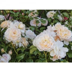 Rose Isarperle / Fl