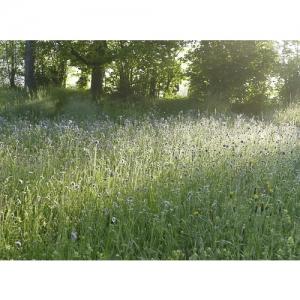 Blumenwiese im Morgenlicht