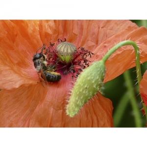 Feldmohn mit Honigbiene